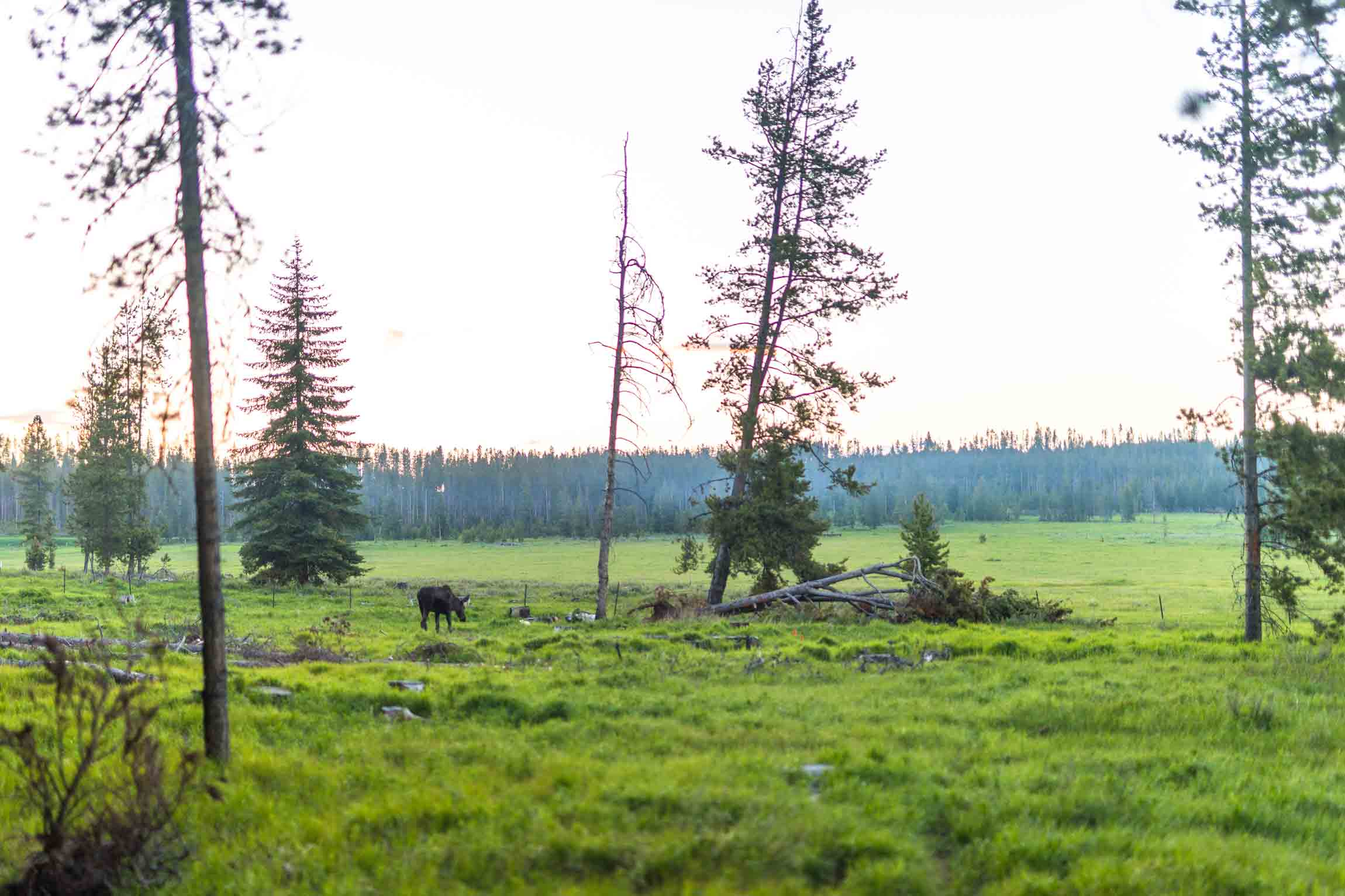 A moose in a meadow near Philipsburg, Montana.